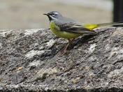 A Grey Wagtail at The Old Water Mill at Thetford on the 12/05/2021