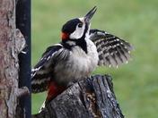 Gt Spotted Woodpecker on the tree stump in my garden.