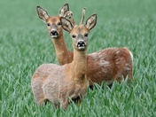 Pair of Roe deer in the crop have  just spotted me.