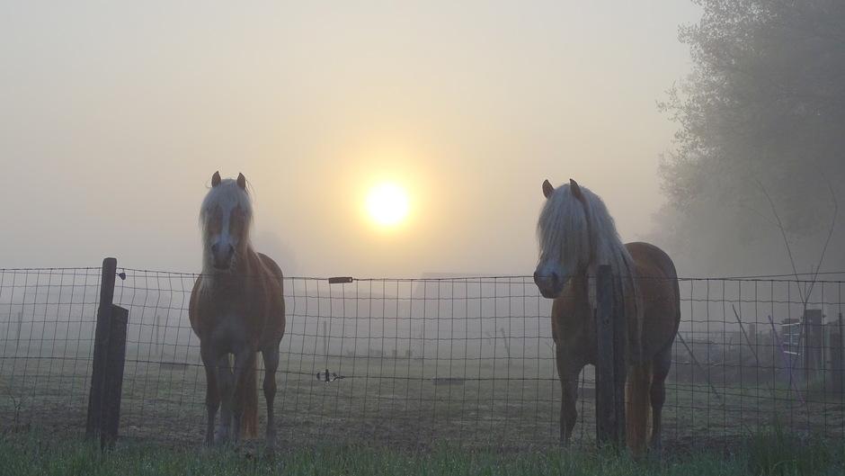 Paarden dauw en mist