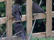 Starling Family