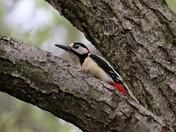 Exhausted sleeping spotted woodpecker
