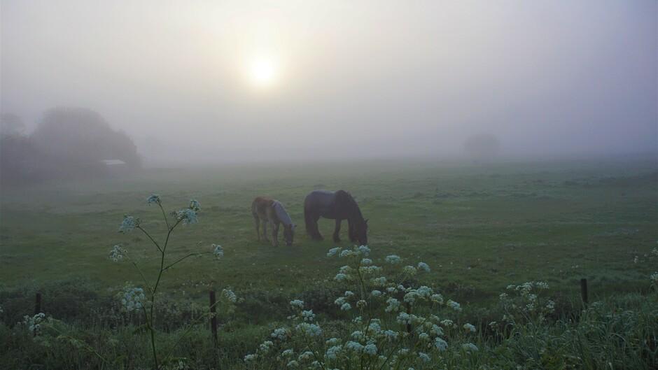 zonsopkomst en dichte mist 100 meter zicht 6 gr paarden in de wei