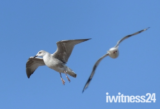 GULL ABOUT TO LAND TO GRAB A CHIP