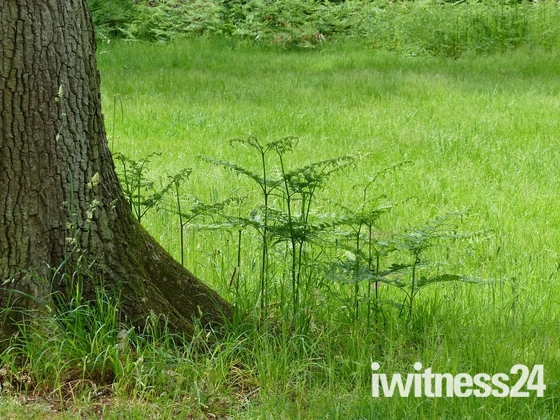 FERN STARTNG TO GROW IN SANDRINGHAM WOODS