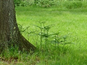 FERN STARTNG TO GROW IN SANDRINGHAM WOODS