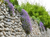 AUBRETIA GROWING ON A WALL AT BLAKENEY