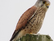 A beautiful Eurasian Kestrel perched on a telegraph pole at West Dereham on the 14/05/2021