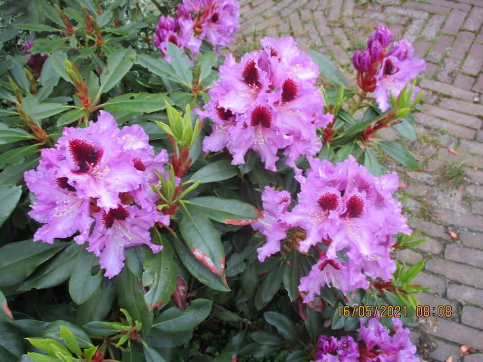 Rododendron wat een mooie kleur
