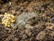 Male Midwife Toad - West Runton