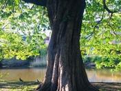 Rain and oak