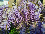 Wisteria at St Giles Church in Norwich