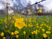 Buttercups ,Nayland