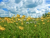 Hadleigh Buttercups and clouds