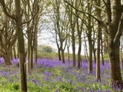 Bluebells in Waldringfield