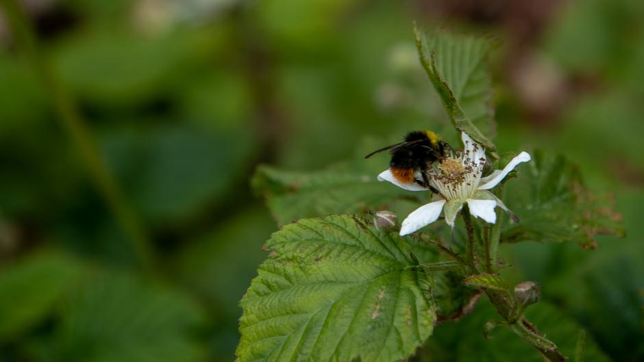 Framboos wordt goed bestoven door de bijtjes