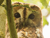 A Tawny Owl watches me from the leafy tree tops.