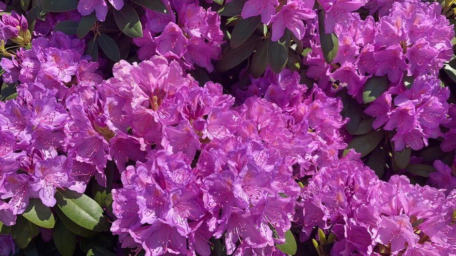 Rododendron in de zon