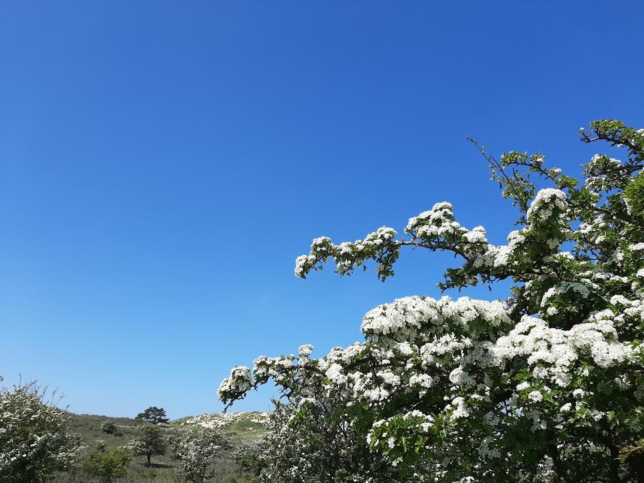 Blauwe lucht en bloesemtakken in de duinen