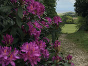 Rhododendrons at Sheringham Park National Trust
