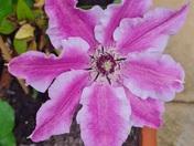 Beautiful clematis
