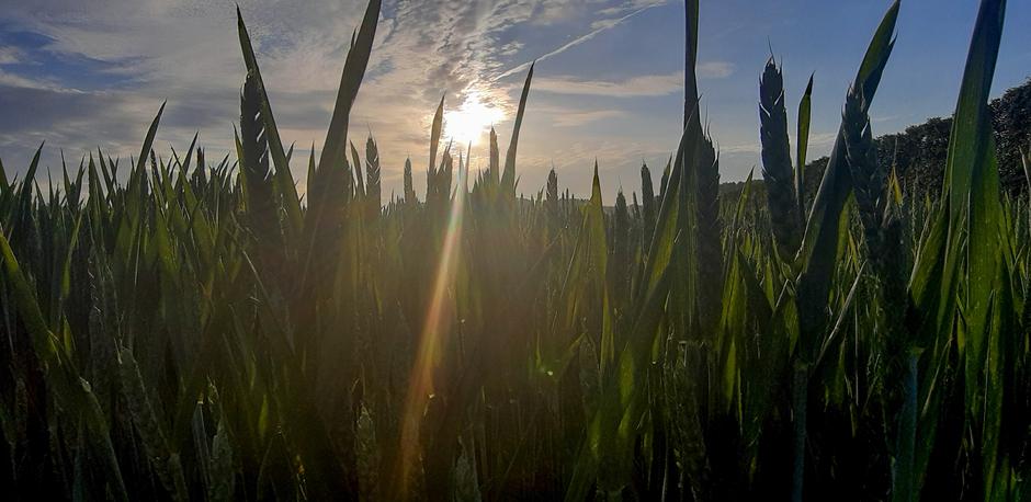 Zon boven graanveld