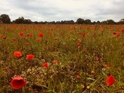 A field of poppies to inspire Monet at old martlesham