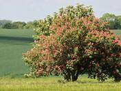 Red horse-chestnut tree