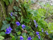 Violets by the river
