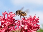Bee comes in to land on Valerian flowers.