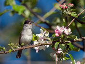 Mr Blackcap in the blossom