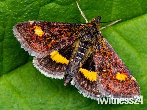 Mint Moth in Garden