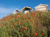 Poppies in bloom on Felixstowe shoreline