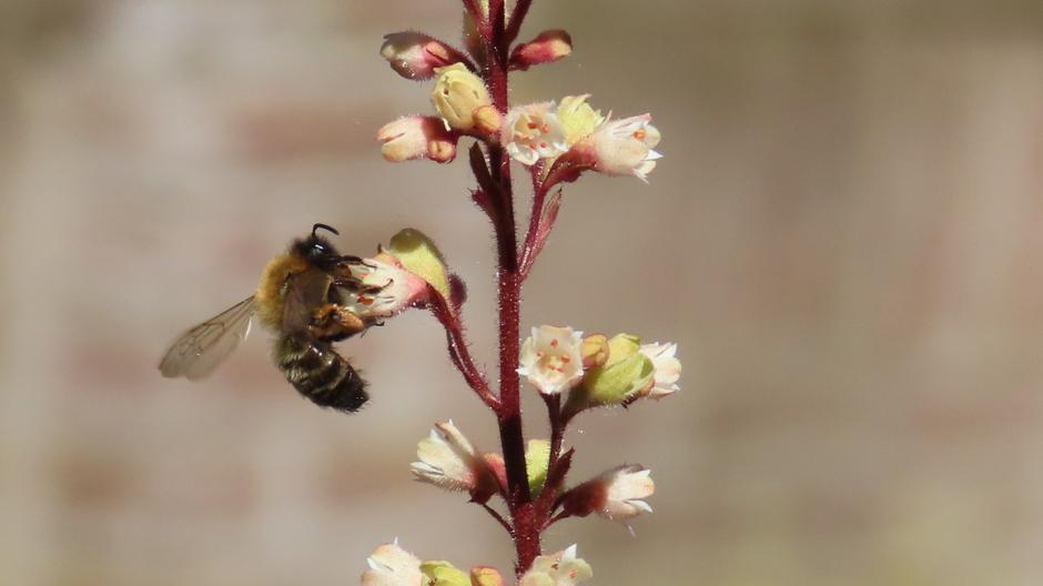 Steeds veel bijen op de bloemen van de heuchera (purperklokje)