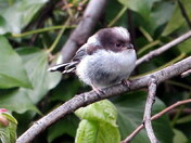 baby longtail tit