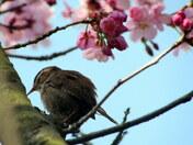 Wren in Blossom tree
