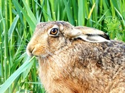 Close encounter with a Brown Hare.