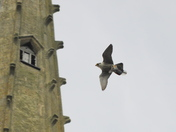 Norwich Peregrines At Cathedral