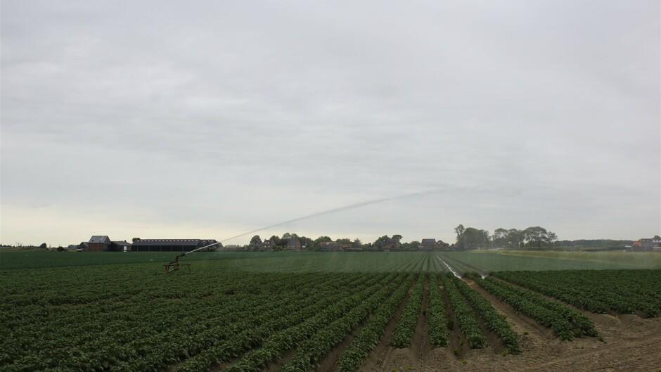 grijs en bewolkt 18 gr beregenen van de aardappelen