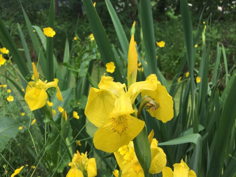 Zonnige gele irissen langs het water terwijl de zon doorkomt - lunchwandeling