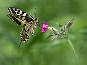 Swallowtail on pink campion