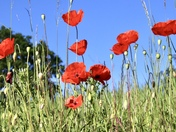 Poppies, butterfly and a busy bee