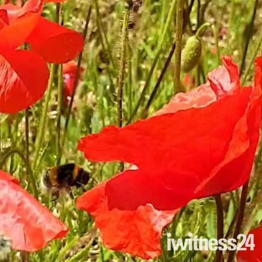 Poppy field in the sun