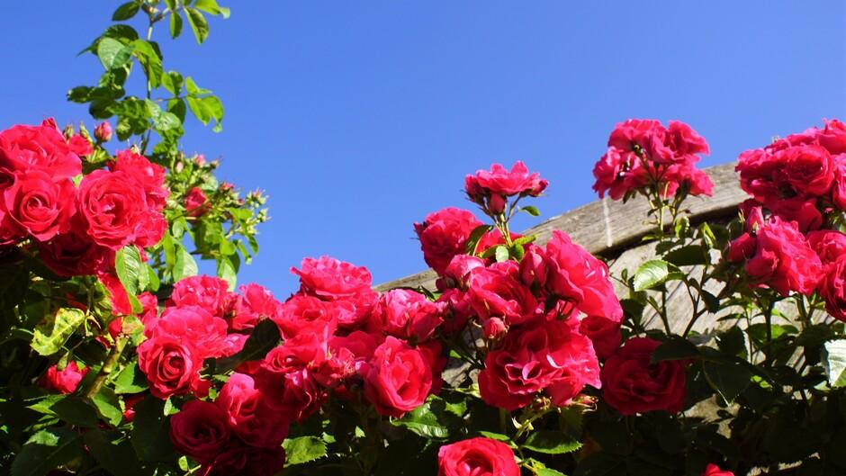 zonnig strak blauw 22 gr rozen in bloei