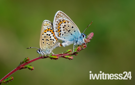 Silver-studded blues