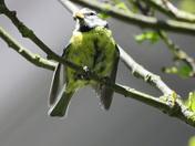 fledgling blue tit