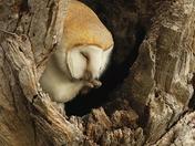 Barn Owl at Fen Farm