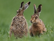Hares at Fen Farm