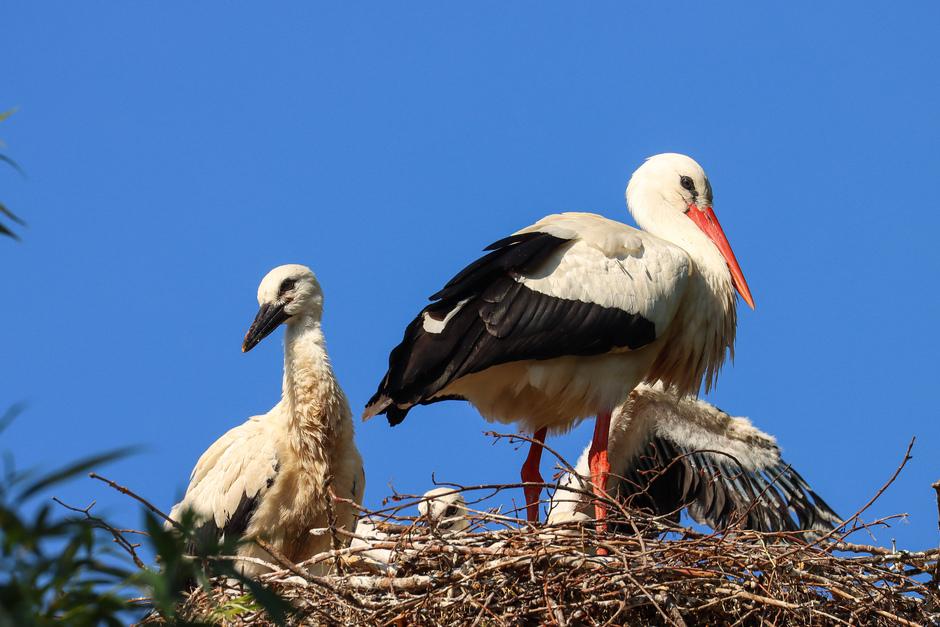Ooievaars groeien uit het nest