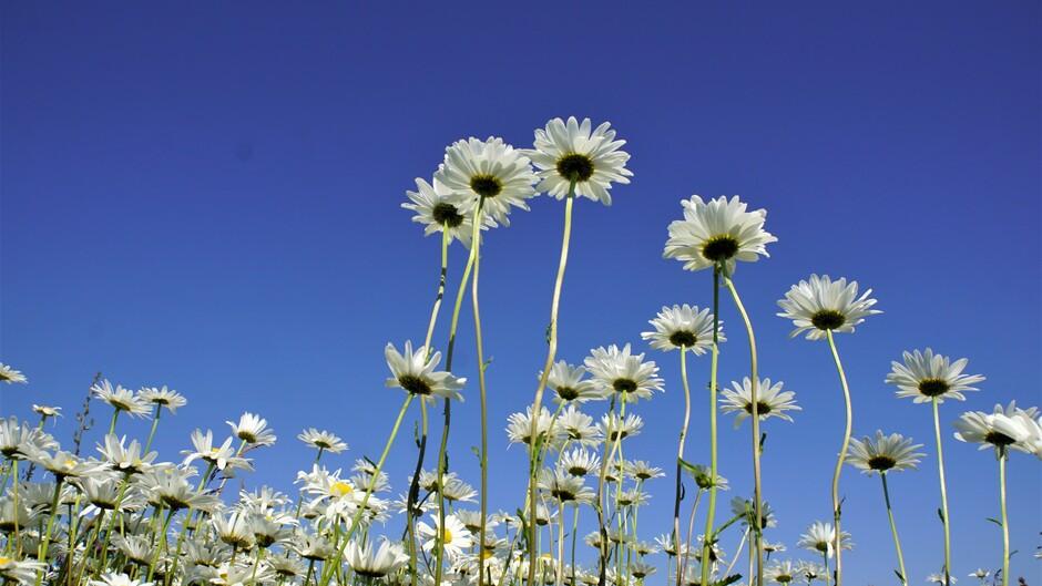 zonnig strak blauwe lucht 23 gr margrieten in bloei